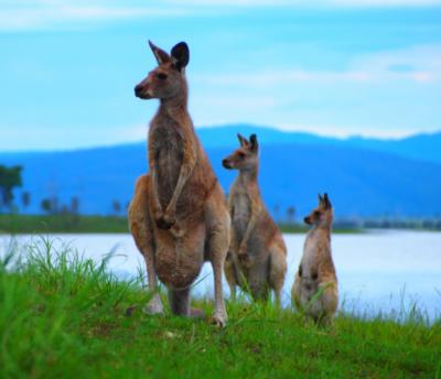 オーストラリアといえばカンガルー